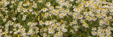 Plantas de la manzanilla, campo de la manzanilla Imagen de archivo