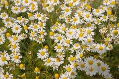 Plantas de la manzanilla, campo de la manzanilla Fotos de archivo libres de regalías