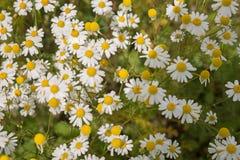 Plantas de la manzanilla, campo de la manzanilla Imagen de archivo libre de regalías