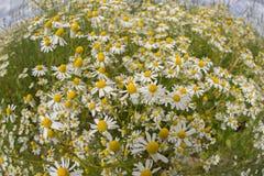Plantas de la manzanilla, campo de la manzanilla Imagenes de archivo