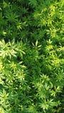 Plantas de la marijuana/de la vegetación de la marijuana Imagen de archivo