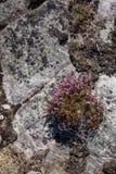 Plantas de la montaña en Noruega foto de archivo