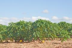 Plantas de la papaya Fotografía de archivo libre de regalías