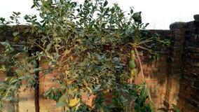 Plantas de la papaya y del limón fotos de archivo
