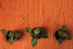 Plantas de la paprika Imagen de archivo
