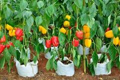Plantas de la pimienta Fotos de archivo