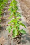 Plantas de la pimienta en fila fotos de archivo