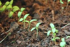 Plantas de la planta de semillero en suelo Fotografía de archivo