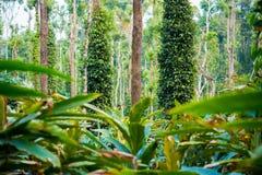 Plantas de la plantación del cardamomo y de la pimienta negra imagenes de archivo
