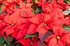Plantas de la poinsetia en la floración como decoraciones de la Navidad Foto de archivo libre de regalías