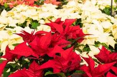 Plantas de la poinsetia en la floración como decoraciones de la Navidad Foto de archivo