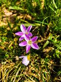 Plantas de la primavera con las flores púrpuras imágenes de archivo libres de regalías