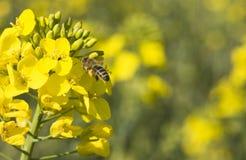 Plantas de la rabina con la abeja en la flor Imagen de archivo libre de regalías