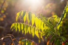 Plantas de la rama con las hojas del verde en la puesta del sol Fotografía de archivo