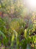 Plantas de la rama con las hojas del verde en la puesta del sol Fotos de archivo libres de regalías