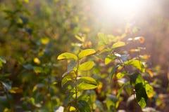 Plantas de la rama con las hojas del verde en la puesta del sol Imagenes de archivo