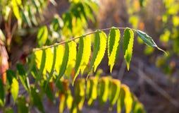 Plantas de la rama con las hojas del verde en la puesta del sol Imágenes de archivo libres de regalías