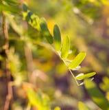 Plantas de la rama con las hojas del verde en la puesta del sol Imagen de archivo libre de regalías