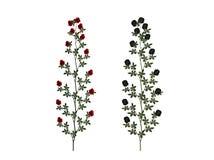 Plantas de la rosa del rojo y del negro Ilustración del Vector
