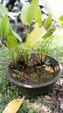 Plantas de la tina Fotos de archivo