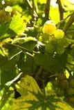 Plantas de la uva Imágenes de archivo libres de regalías