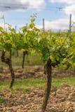 Plantas de la uva sin la fruta en Alemania fotografía de archivo libre de regalías