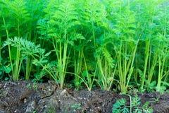 Plantas de la zanahoria Imagen de archivo libre de regalías