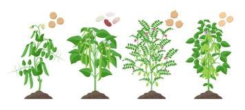 Plantas de las legumbres con el crecimiento de frutas maduro del suelo aislado en el fondo blanco Guisante, haba común, garbanzo, ilustración del vector