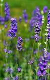 Plantas de Lavarder Imagens de Stock Royalty Free