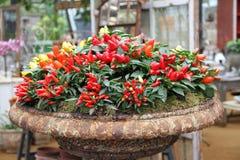 Plantas de los chiles Fotografía de archivo libre de regalías