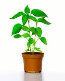 Plantas de los chiles Imagen de archivo libre de regalías