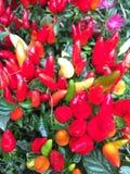 Plantas de los chiles Imagenes de archivo