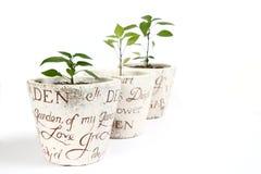 Plantas de los chiles en crisoles Imagen de archivo