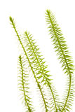 plantas de los clubmoss aisladas Imagen de archivo libre de regalías