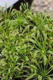 Plantas de los nidiformis del Drosera foto de archivo libre de regalías