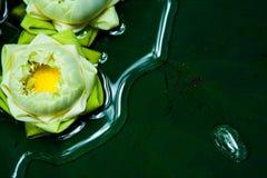 Plantas de loto verdes en Asia Foto de archivo libre de regalías