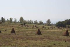Plantas de maíz con las mazorcas en campo después del campo agrícola de la cosecha con maíz Fotografía de archivo