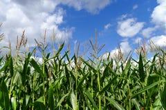 Plantas de maíz contra el cielo azul y blanco Fotografía de archivo