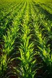 Plantas de maíz jovenes Fotos de archivo