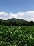 Plantas de maíz jovenes Massachusetts Imagenes de archivo