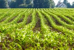 Plantas de maíz orgánicas Fotografía de archivo