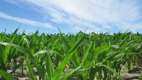 Plantas de maíz que soplan en el viento almacen de metraje de vídeo