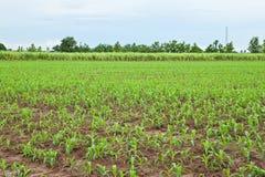 Plantas de maíz y planta jovenes de la caña de azúcar Imágenes de archivo libres de regalías