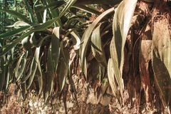 Plantas de Maguey na floresta fotografia de stock royalty free