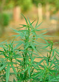 Plantas de marijuana Imagem de Stock