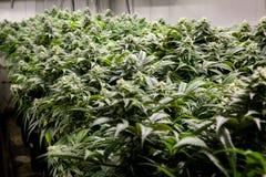 Plantas de marijuana bonitas fotografia de stock