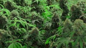 Plantas de marijuana florecientes maduras con los brotes gruesos almacen de metraje de vídeo