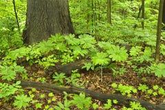 Plantas de Mayapple en piso del bosque Imagen de archivo