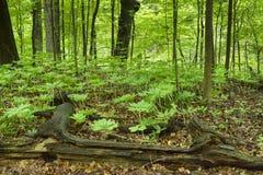 Plantas de Mayapple en piso del bosque Fotografía de archivo