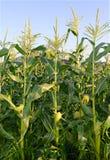 Plantas de maíz, una comida de grapa del mundo Fotos de archivo libres de regalías